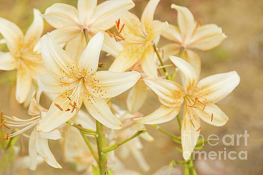Lilycrest Dainties by Marilyn Cornwell