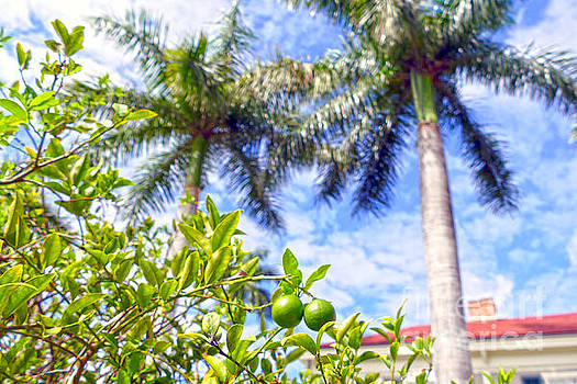 Limequats in Florida by Catherine Sherman