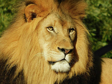 Lion All Grown Up by Emmy Marie Vickers