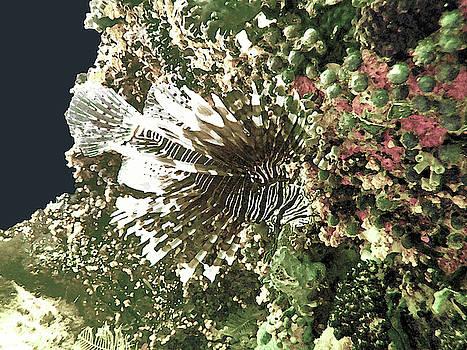 Susan Burger - Lion Fish in Coral