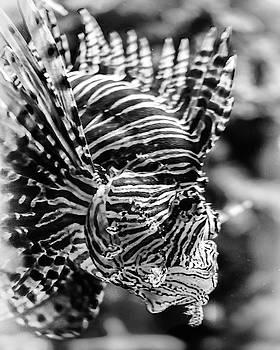 Lion Fish by Scott Wyatt