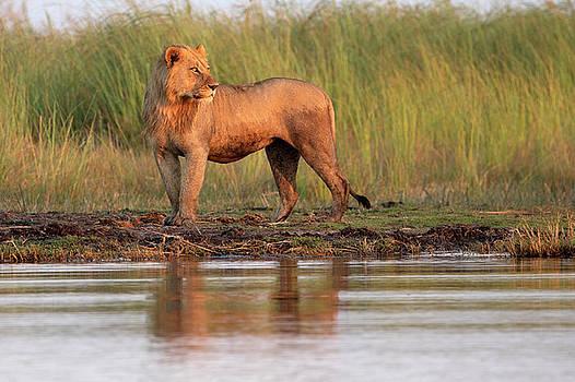 Lion in Botswana by John Rodrigues