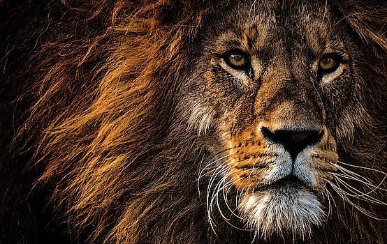 Daniel Hagerman - LION of AFRICA