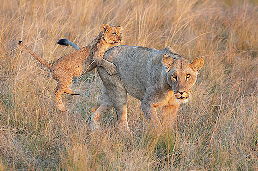 Lioness and Cub by John Rodrigues