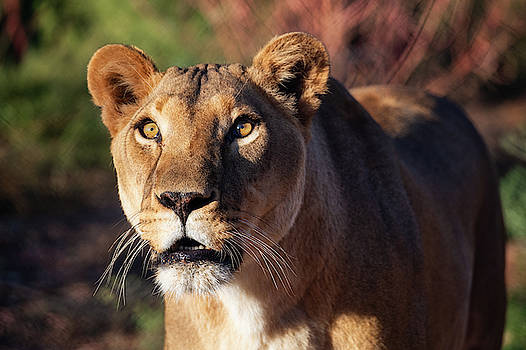 Lioness looking up by Gloria Anderson