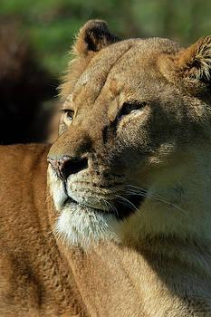 Lioness stare by Steev Stamford