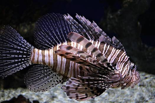 Lionfish by Christopher James