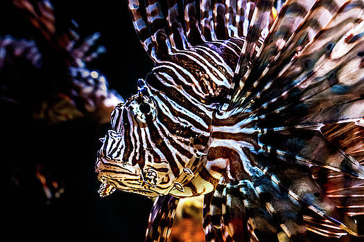 Lionfish by Jeanette Fellows