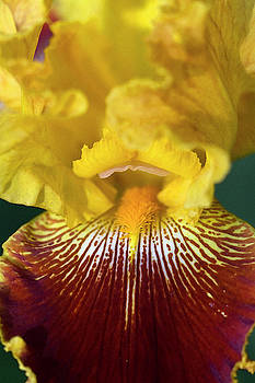 Lionhearted Gold and Wine Tall Bearded Iris Closeup by Kathy Clark
