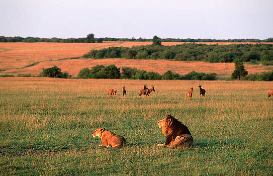 Lions And Lioness Panthera Leo Watching by Martin Harvey