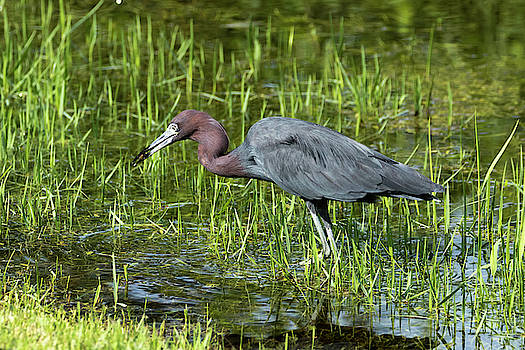 Little Blue Heron After the Catch by Darrell Gregg