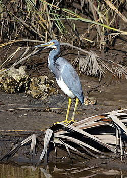 Little Blue Heron at St. Marks by Carla Parris