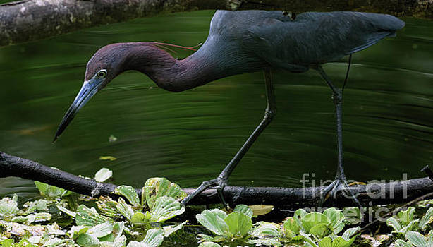 Little Blue Heron in Sanctuary by Natural Focal Point Photography