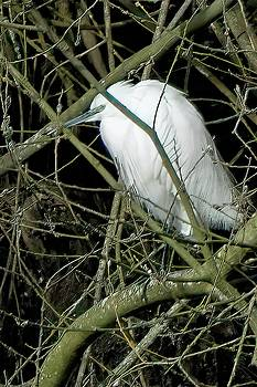 Little Egret resting by James Lamb