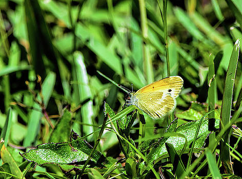 Little Yellow Butterfly by William Tasker