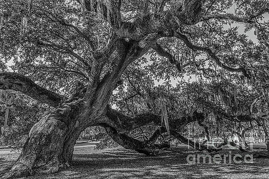 Live Oak Tree - Magnolia Cemetery by Dale Powell