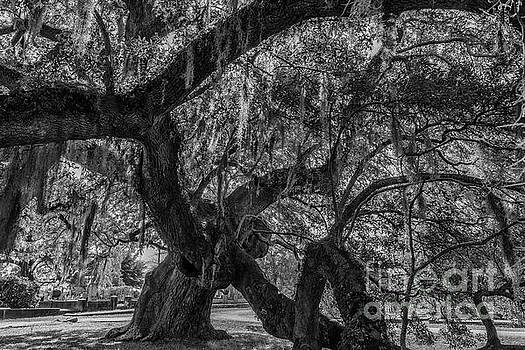 Dale Powell - Live Oak Tree Twisted Growth