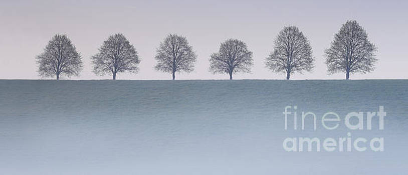 Lime trees with mist by Colin Roberts