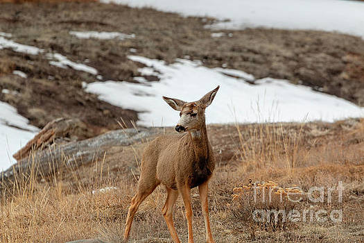 Steve Krull - Lone Colorado High Country Deer