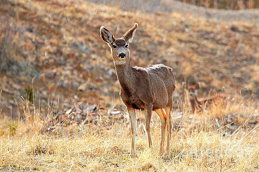 Lone Mule Deer in the Rocky Mountain Springtime by Steve Krull