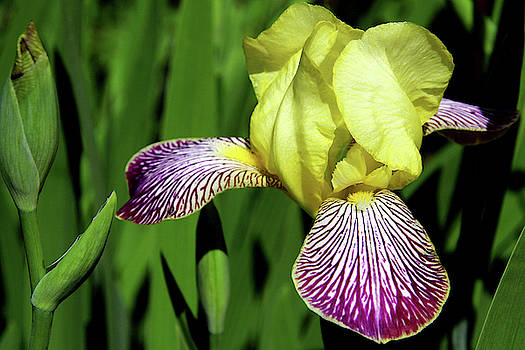 Lonely Iris by Debra Orlean