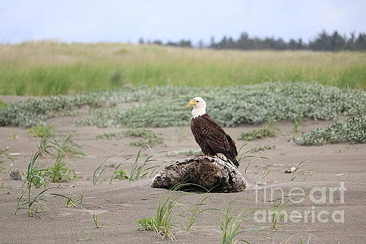 Long Beach Dunes Eagle by Carol Groenen
