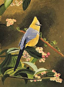 Long-tailed Silky Flycatcher by Nelson Hammer