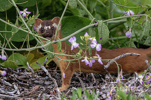 Long Tailed Weasel 3905 by Craig Corwin