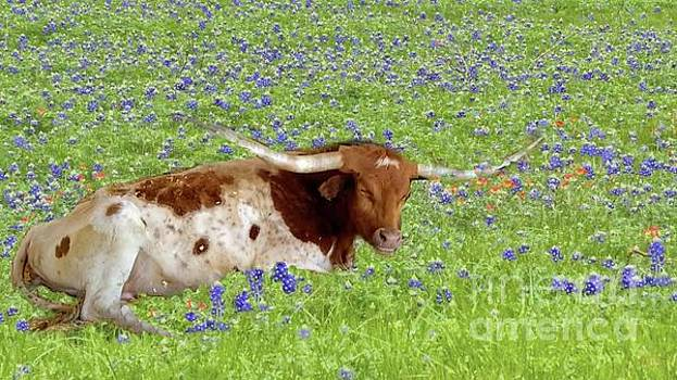 Longhorn Sleeping in Bluebonnets by Janette Boyd and Sarah Rolph
