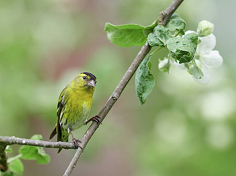 Look the apple is getting some flowers. Eurasian Siskin by Jouko Lehto