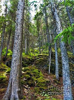 Campwillowlake - Looking uphill at mossy woods with pine trees in Canada