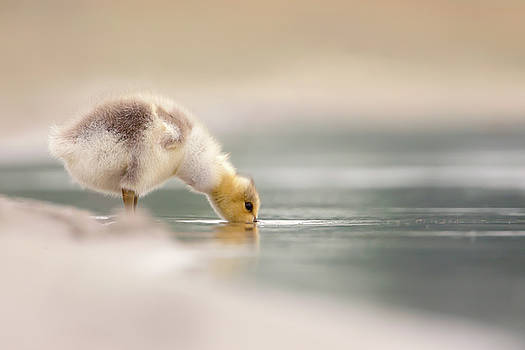 Lost Something? - Drinking gosling by Roeselien Raimond