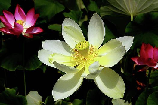 Lots of Lotuses by Debra Orlean