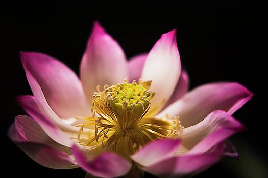 Lotus flower by Darren Wilch