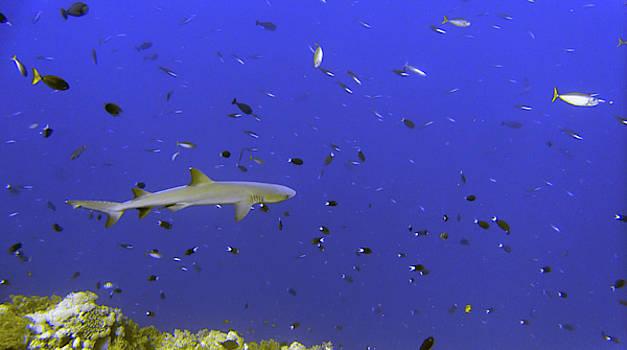 Love sharks by Paul Ranky