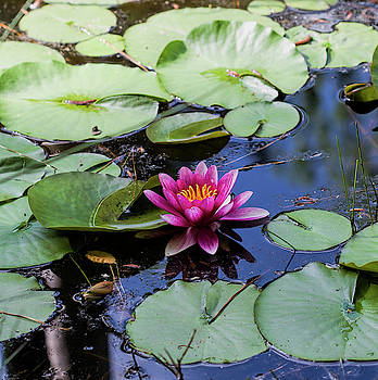 Lovely Dark Pink Waterlilies on Pond by Kathy Clark