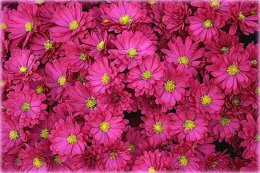 Lovely in Pink - Miniature Mums by Dora Sofia Caputo Photographic Design and Fine Art