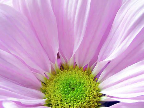 Lovely Light Pink Daisy Flower by Johanna Hurmerinta