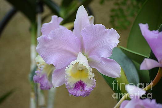 Lovely Lilac Orchid by Jeannie Rhode