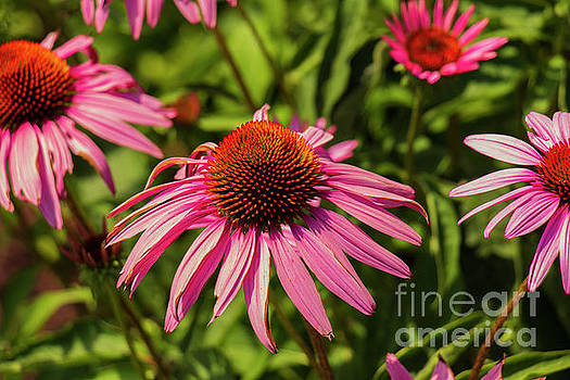 Lovely Pink Coneflowers by Sharon Mayhak