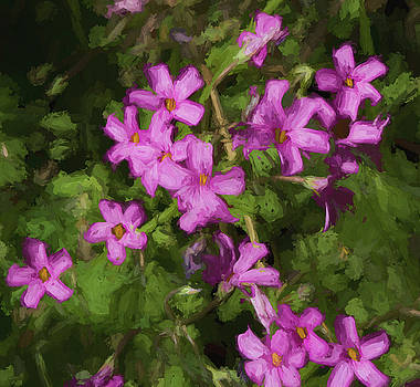 Kathy Clark - Lovely Pink Oxalis Blossoms