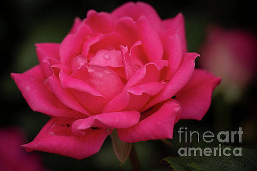 Lovely Pink Rose by Sharon Mayhak