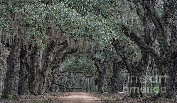 Lowcountry Avenue of Oaks  by Dale Powell