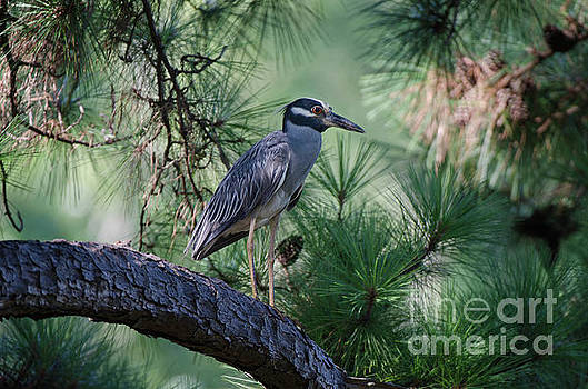 Dale Powell - Lowcountry Birds - Yellow Crowned Night Heron