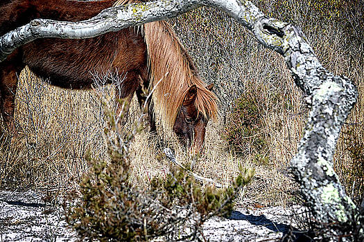 Lunchtime for Assateague's Gokey Go Go Bones by Bill Swartwout Fine Art Photography