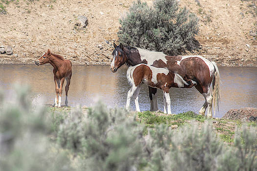 Lunchtime - South Steens Mustangs 0999 by Kristina Rinell