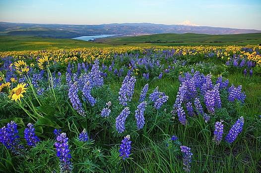 Lupines at sunrise by Lynn Hopwood