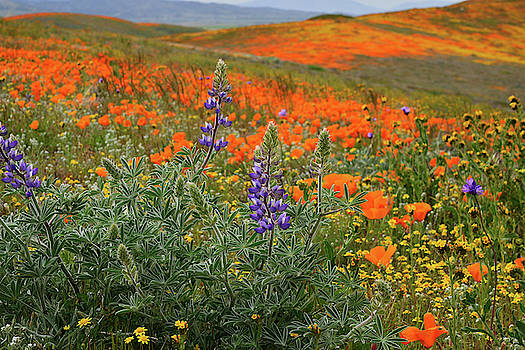 Lupine and Poppies in Antelope Valley by Kathy Yates