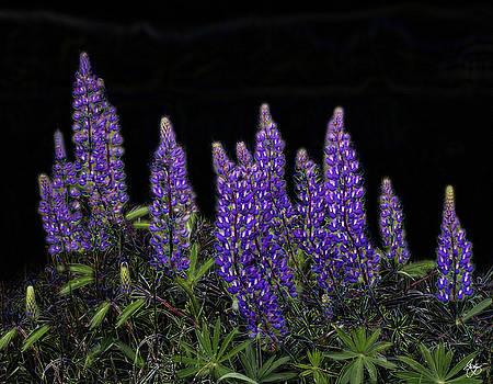 Lupine on Velvet by Wayne King