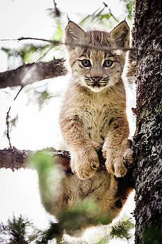 Lynx Kitten in Tree by Tim Newton